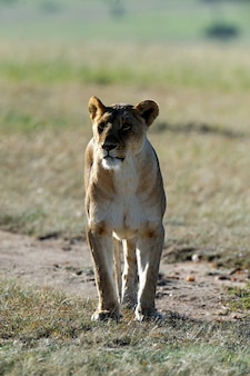 Beau lion dans l'herbe du masai mara, kenya