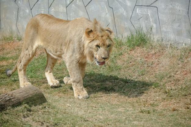 Beau lion mâle et jaunâtre pour le fond d'image de forêt