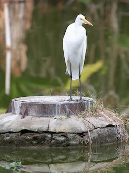 Beau long héron blanc dans le parc chasse le poisson