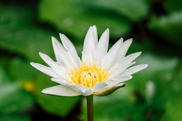 Beau lotus blanc dans la piscine