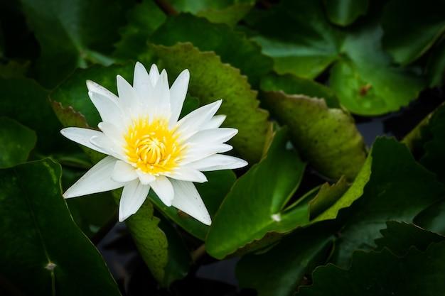 Un beau lotus blanc avec des feuilles vertes dans l'étang