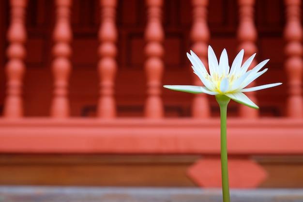 Beau lotus blanc sur fond rouge