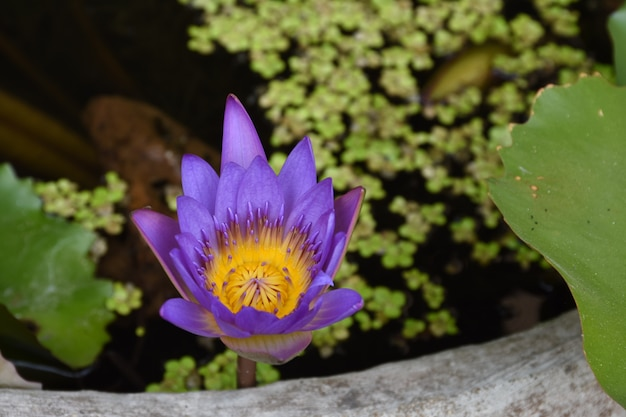 Beau lotus pourpre dans l'étang. (nymphaea caerulea)