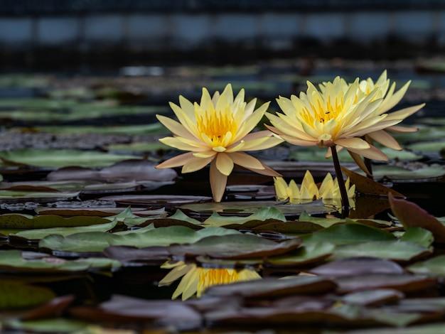Beau lotus qui fleurit sur l'étang flou