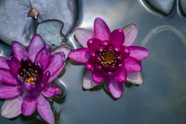 Beau lotus rose dans l'étang
