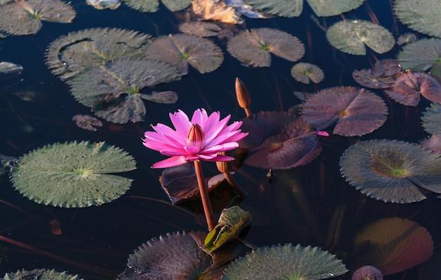 Beau lotus rose dans la rivière.