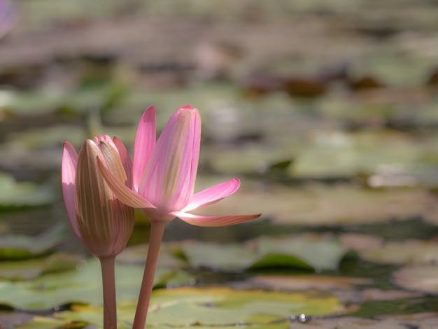 Beau lotus rose qui fleurit sur un étang flou