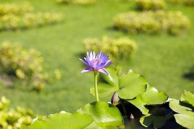 Beau lotus violet ou fleur de nénuphar et fleurissant dans l'étang avec un fond de nature.