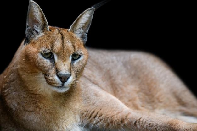 Beau lynx caracal