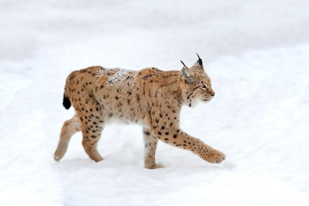 Beau lynx sauvage en journée d'hiver