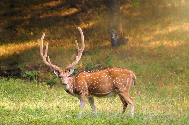 Beau mâle chital ou cerf tacheté dans le parc national de ranthambore, rajasthan, inde