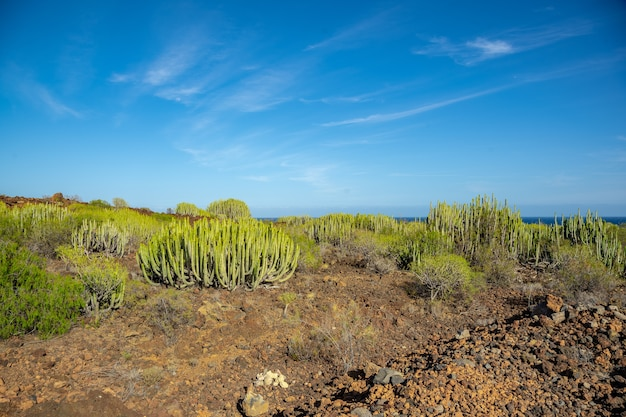 Beau et massif cactus à puertito de gimar, tenerife