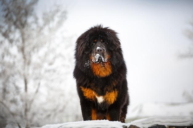 Beau mastiff tibétain sur fond de paysage enneigé.