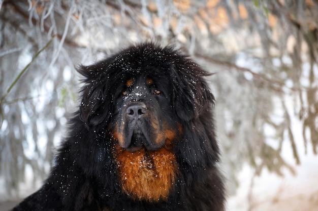 Beau mastiff tibétain