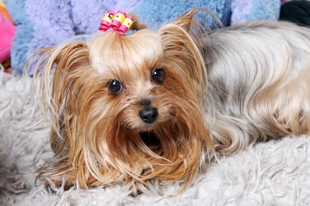 Beau et mignon chien york terrier