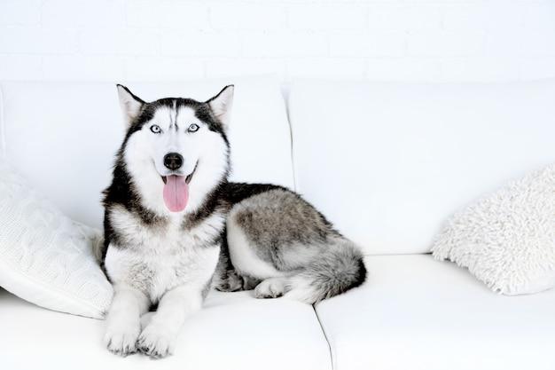 Beau mignon husky allongé sur un canapé dans une salle blanche