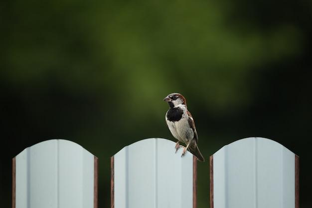 Beau moineau assis sur une clôture
