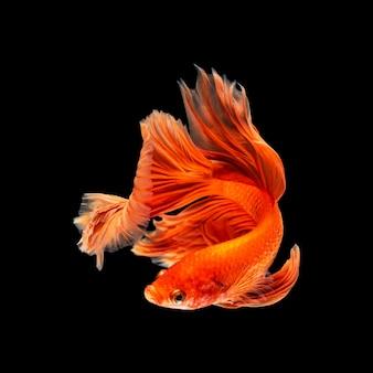 Beau mouvement de poissons betta siamois colorés ou demi-lune betta splendens combattant des poissons