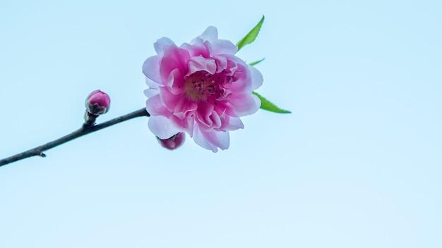 Beau mur abstrait de printemps floral sakura de la nature. mur de fleurs de sakura. fleur de cerisier.