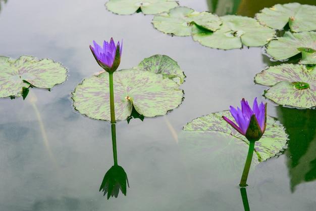 Beau nénuphar ou fleur de lotus sur l'étang