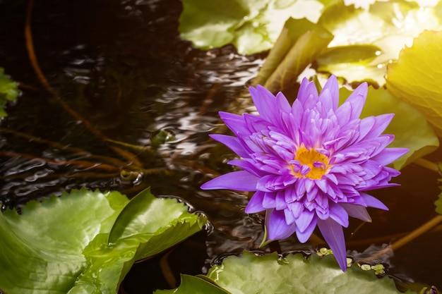 Beau nénuphar violet avec des feuilles vertes en étang