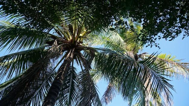 Beau palmier tropical avec noix de coco. vue de dessous