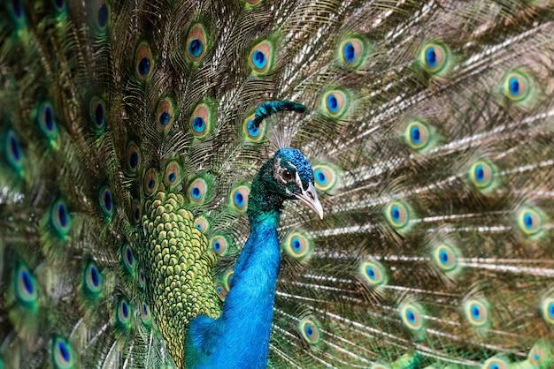 Beau paon mâle aux plumes ouvertes