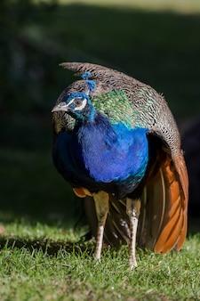 Beau paon mâle coloré