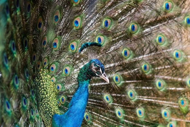 Beau paon mâle avec plumes ouvertes