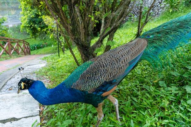 Un beau paon manucuré se promène dans un parc d'oiseaux verts.