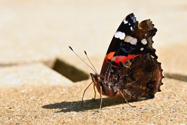 Beau papillon assis sur le sol. (vanessa atalanta linné)