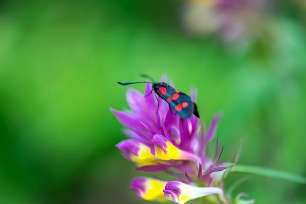 Un beau papillon aux ailes noires et rouges est assis sur la fleur. macrophotographie