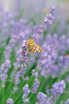 Un beau papillon boit du nectar sur une fleur de lavande dans un champ de lavande