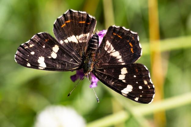 Le beau papillon de carte se repose sur l'herbe au soleil