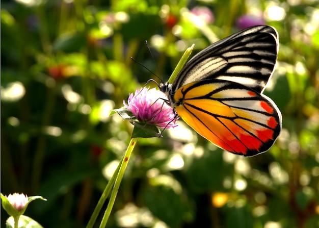 Un beau papillon sur une fleur d'amarante globe dans le jardin