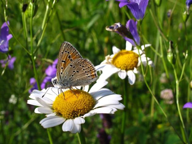 Beau papillon sur une fleur de camomille