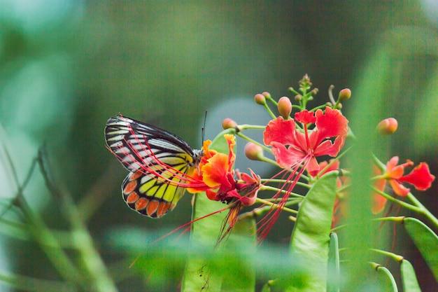 Un beau papillon jézabel commun (delias eucharis) est assis sur des fleurs royales de poinciana