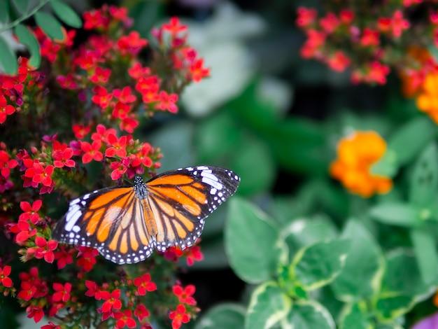 Beau papillon orange tigre commun (danaus genutia) sur une fleur rouge avec fond de jardin vert