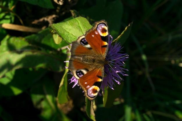 Le beau papillon de paon se repose sur un plan rapproché de fleur de chardon