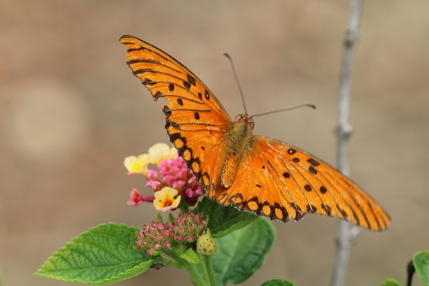 Beau papillon