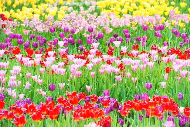 Beau parterre de tulipes colorés dans le parc