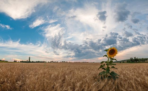 Beau paysage agricole avec tournesol
