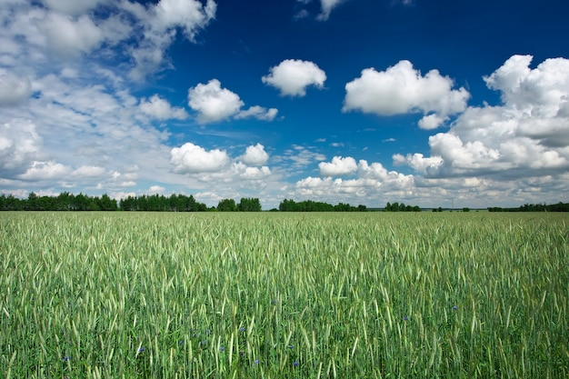 Beau paysage avec champ de seigle et ciel bleu avec des nuages. biélorussie