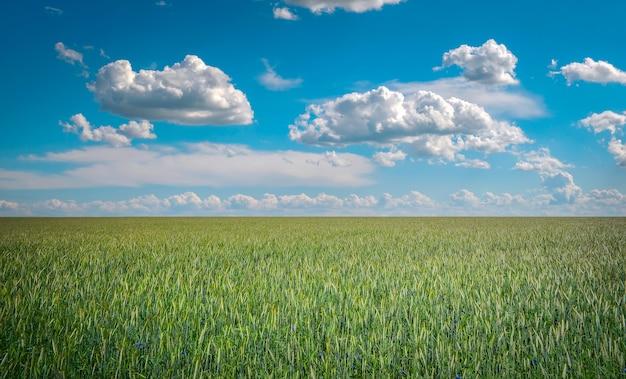 Beau paysage avec champ de seigle et ciel bleu avec des nuages.