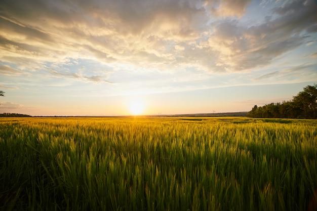 Beau paysage avec champ de seigle mûr et ciel d'été bleu