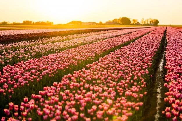 Beau paysage d'un champ de tulipes sous le ciel coucher de soleil