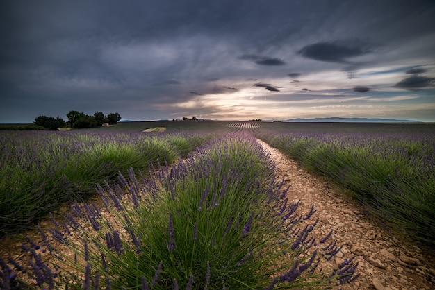 Beau paysage de champs de lavande sous un ciel nuageux sombre