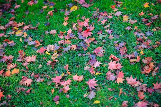 Beau paysage avec des feuilles d'érable et l'herbe verte