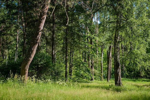 Beau paysage de forêt d'été vert avec une clairière par une journée ensoleillée