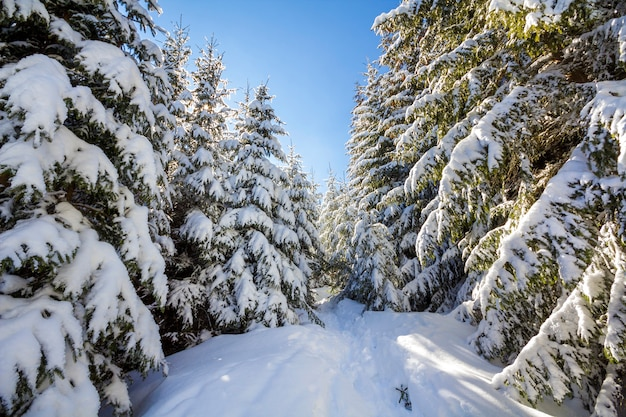 Beau paysage d'hiver. grands sapins couverts de neige profonde et de givre éclairés par des rayons de soleil brillants